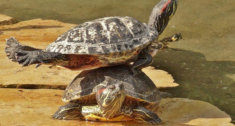 Am 23. Mai ist der Aktionstag Welt-Schildkröten-Tag. Sie leben seit über 220 Millionen Jahren auf der Erde...